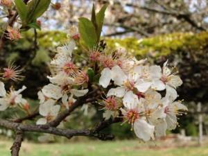 plum_blossoms